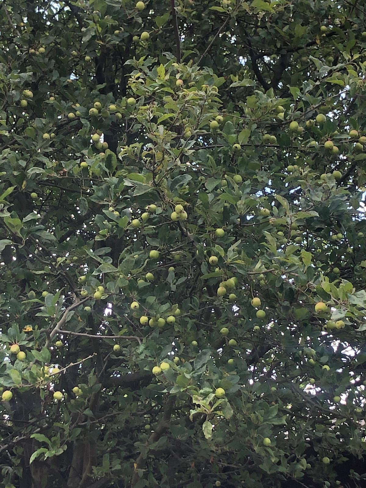 18 years! Lessons from the apple tree in my garden.